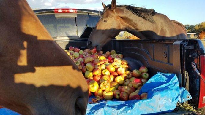Un grupo de caballos se vuelve loco al encontrarse con un gigantesco camión de manzanas