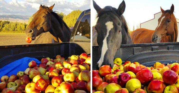 un travieso grupo de caballos rescatados se volvio loco al encontrarse con un enorme camion repleto de manzanas banner