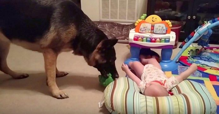 baby plays with german shepherd featured