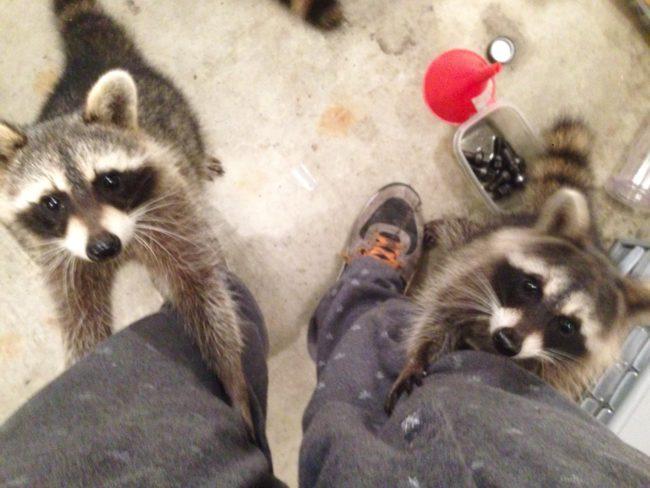 Este hombre rescató a varios mapaches, y ahora se han adueñado de su garaje... ¡Y su vida!
