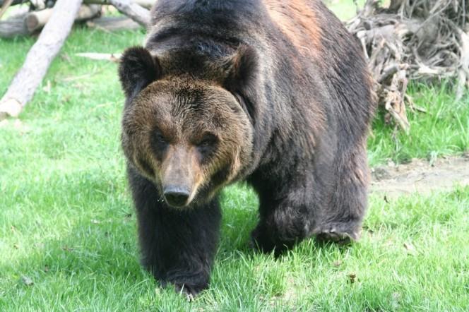 """Este oso tuvo que llevar un """"chaleco de tortura"""" durante años. Tienes que ver cuando estos héroes finalmente lo rescatan..."""