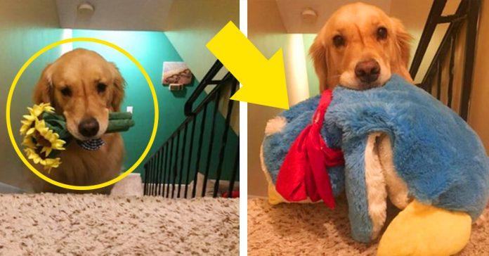 este perro tiene una curiosa mania cada noche se lleva un juguete distinto a su cama banner