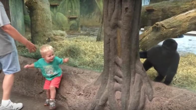 El vídeo de un niño pequeño se viraliza al tener un encontronazo con un Gorila