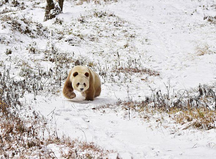 La vida del único Panda marrón del mundo que fue abandonado de pequeño, finalmente ha dado un giro radical