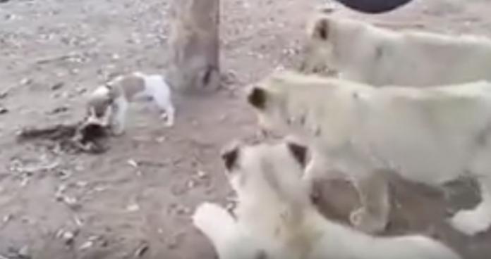 lions surround dog 1