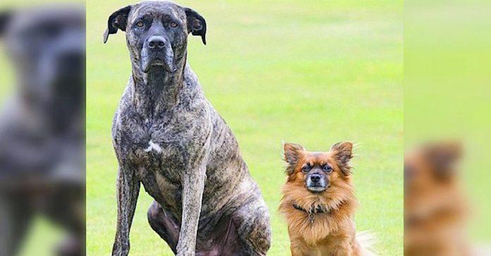 un mastin y una pomerania tuvieron un cachorro juntos su cria ya se ha convertido en viral tienes que verla banner