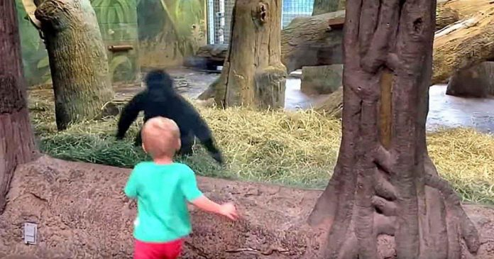 young gorilla plays peek a boo with toddler zoo featured