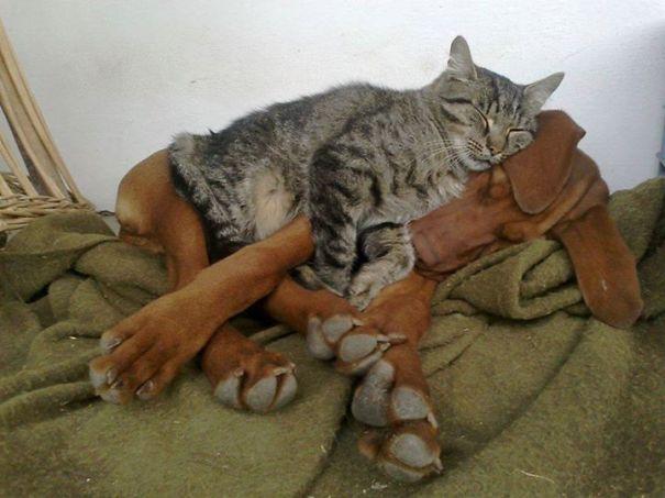 25 Gatos aprovechándose de sus amigos perrunos