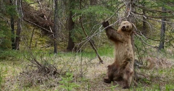 a compilation of bears using trees to scratch their backs with the perfect soundtrack