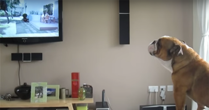 bulldog elephant 1