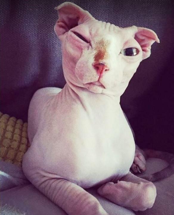 Cuando su novio la abandonó, estaba devastada... Pero entonces se encontró con este gato sin pelaje