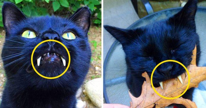 descubre a este gato con dientes de dracula que a cautivado a todo instagram banner
