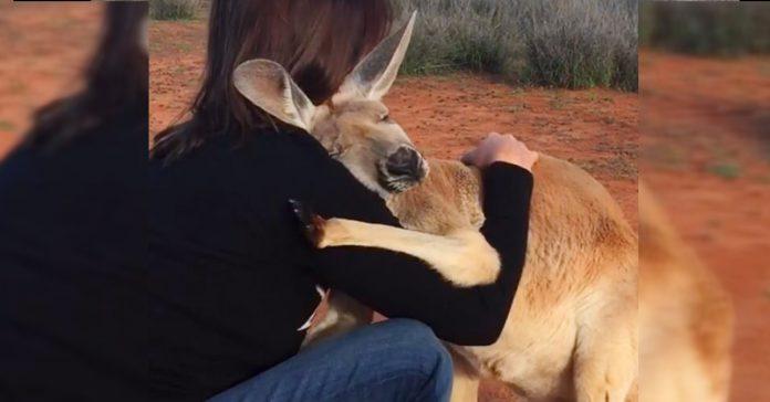 descubre como este canguro muestra su gratitud todas las mananas despues de ser rescatado banner