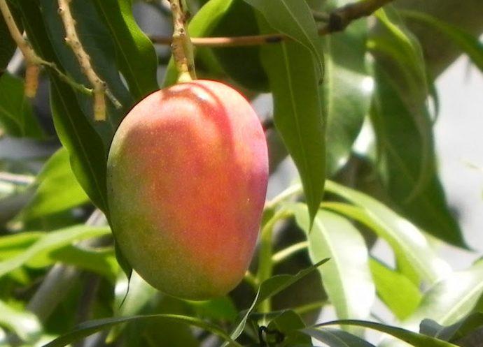 Descubre los increíbles beneficios de las hojas de mango como tratamiento para la diabetes