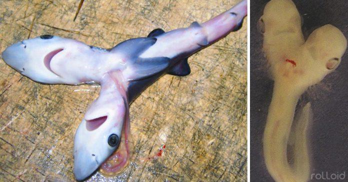 el tiburoxxn de dos cabezas aparece de nuevo banner
