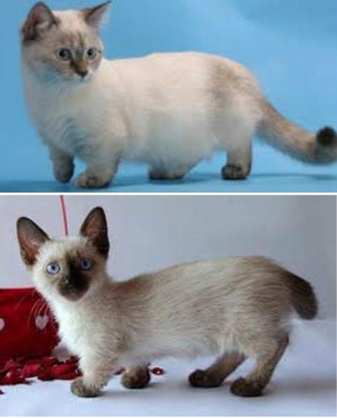 Esta extraña raza de gato se está volviendo más popular cada días gracias a su peculiar aspecto