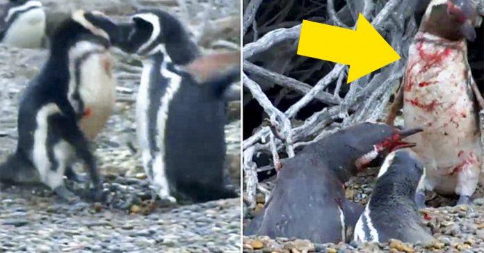 este pinguino lleva a cabo su venganza despues de encontrar a su chica con otro pinguino banner