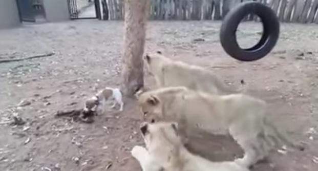 Tres crías de león rodean a un perrito. Cuando él se da la vuelta...