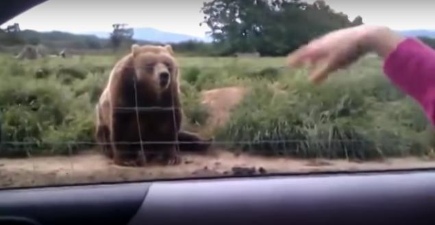 Oro puro: Un oso gigante se vuelve viral en un vídeo que ha conseguido dar al vuelta al mundo