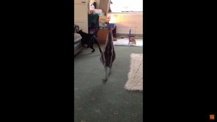 Esta cría Emú tiene una reacción muy graciosa cuando aparece su amigo el perro