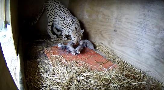 Una guepardo se convierte en el centro de mira con su curioso parto en Richmond