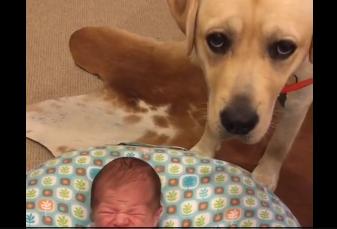 Este bebé recién nacido no deja de llorar hasta que su labrador viene al rescate
