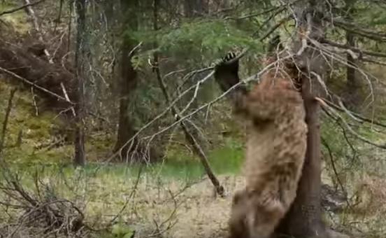 Esta compilación de osos usando los árboles para rascarse es perfecta.
