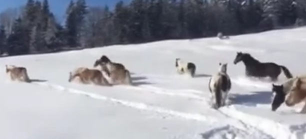 Estos caballos vieron la nieve por primera vez, y jugaron como niños