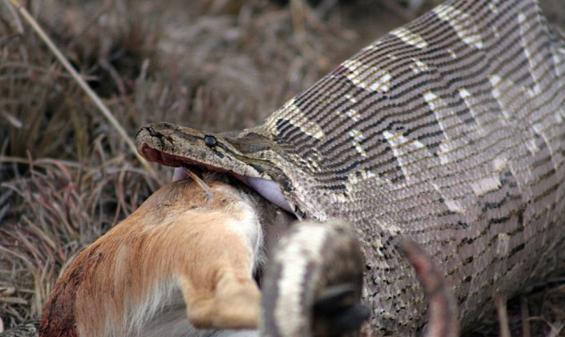 Unos aldeanos abren una serpiente gigante por la mitad para sacar lo que tenía dentro