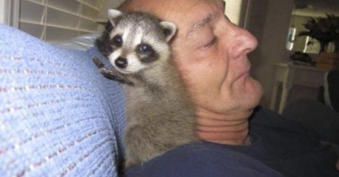 mapache rescate