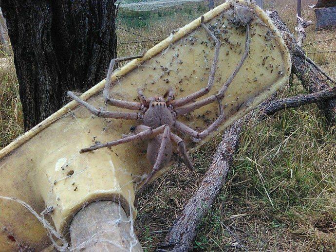Descubren a la que probablemente sea una de las arañas más grandes del mundo
