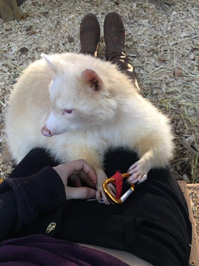 """Rescatan a un agresivo mapache albino y lo agradece """"dando la pata"""""""