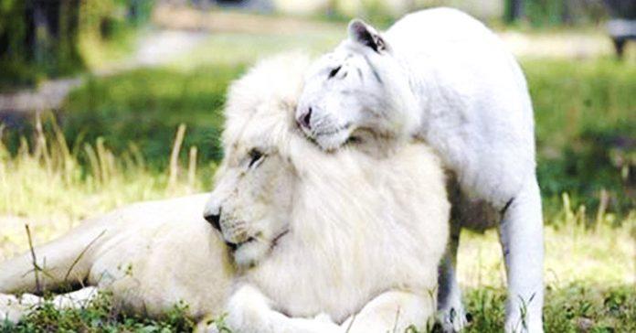tigre leona tienen un cachorro