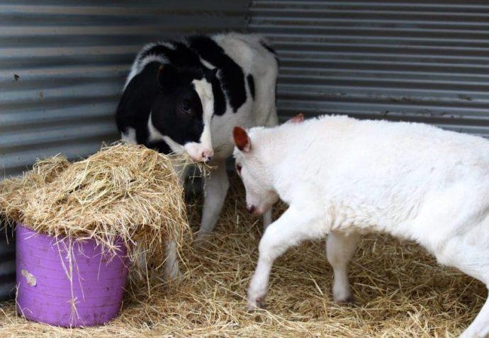 Esta becerra albina se salvó de la muerte e hizo una nueva amiga