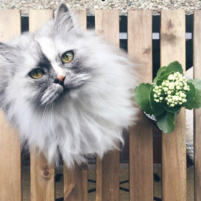 Un gato se viraliza al coronarse como el gato más bello del mundo sin faltarle razón