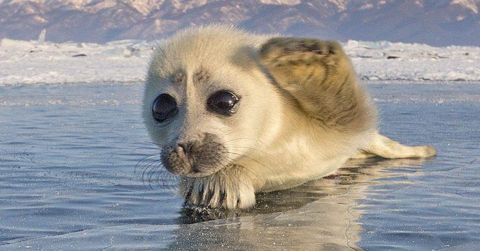 este fotografo se paso mas de 3 anos intentando capturar focas en el hielo banner