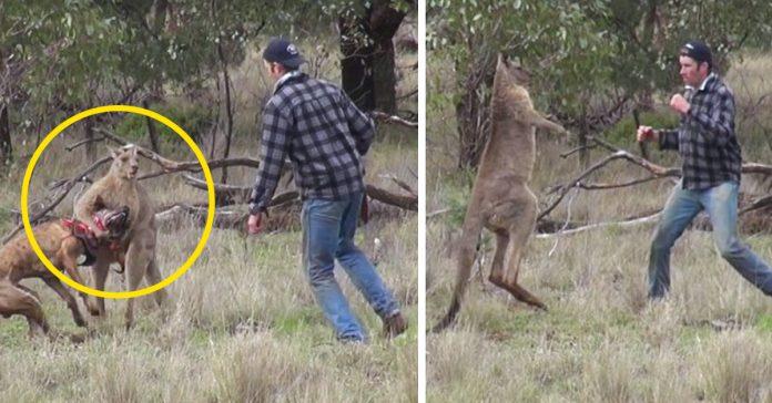 este hombre empieza una pelea con un canguro para salvar a su perro banner