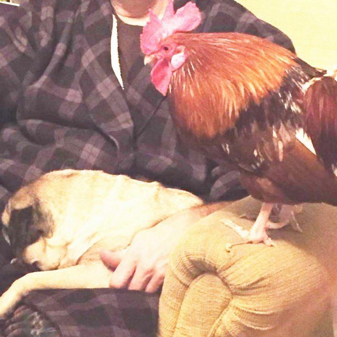 Este gallo adora cacarear en la cara de sus dueños cuando menos se lo esperan