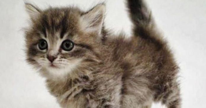 gatito raza