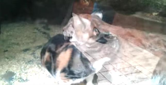 Un Gato se viraliza en vídeo al caer dentro del recinto de un Lince en el zoo