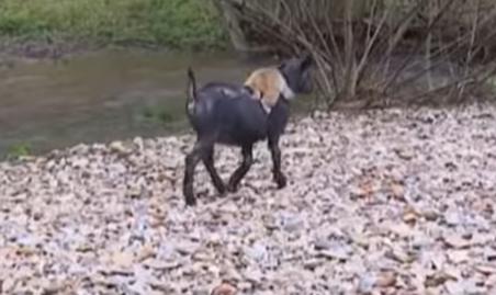 Estas cabras adoptan a un mono que ha perdido a su familia