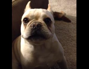 La dueña le pregunta al bulldog cómo le ha ido el día, y éste le responde de una forma muy divertida