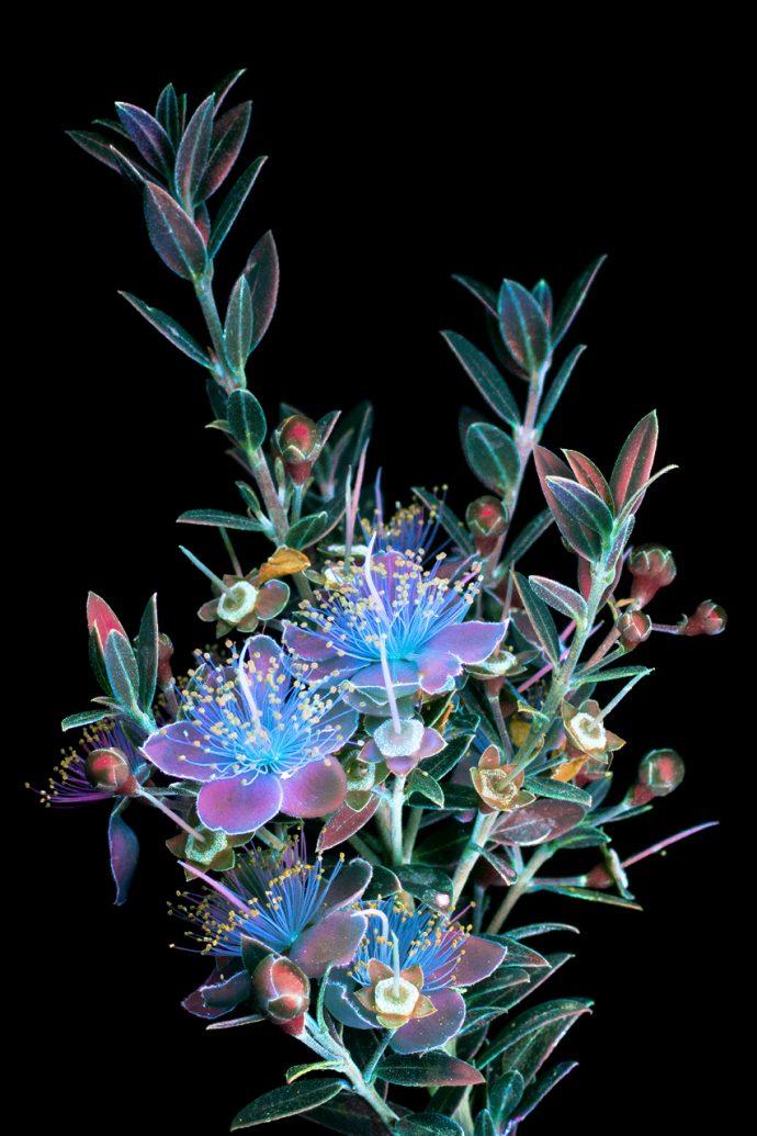 Descubre estas flores fluorescentes que brillan con luz ultravioleta