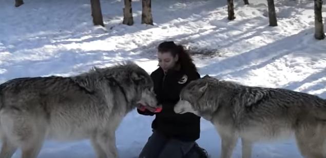 Una mujer se viraliza al acercarse a una manada de lobos gigantes