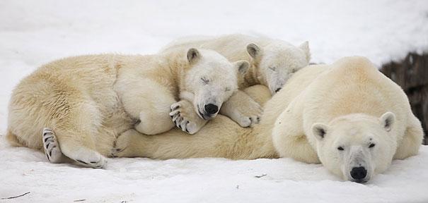 25 fotografías de animales usando a otros animales de almohada