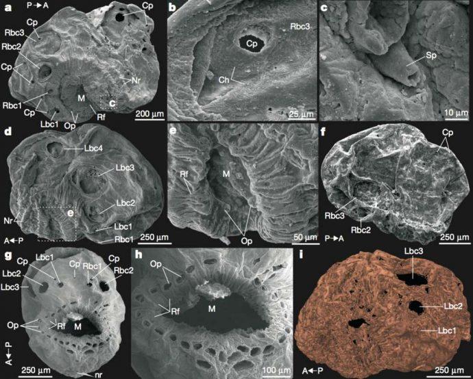 Científicos podrían haber descubierto el ancestro más antiguo conocido de los seres humanos