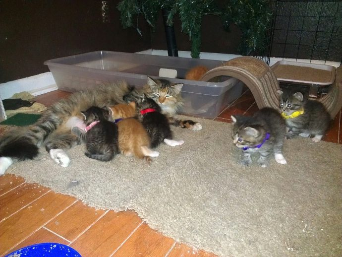 Después de dar a luz a siete crías, esta gata encontró al padre perfecto