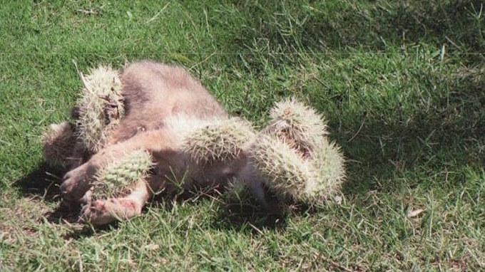 Este coyote se cae en un cactus y necesita ayuda urgente
