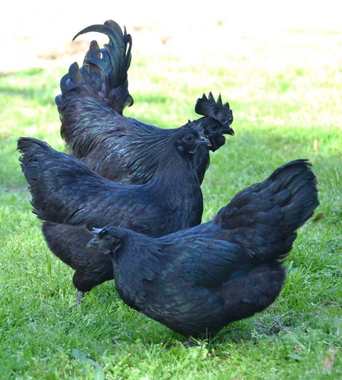 """Este extraño """"gallo gótico"""" es negro desde sus plumas hasta sus órganos y huesos internos"""