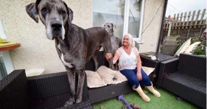 Freddy, un Gran Danés, es el Perro más grande del mundo